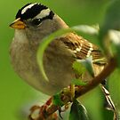 WHITE CROWNED SPARROW by RoseMarie747
