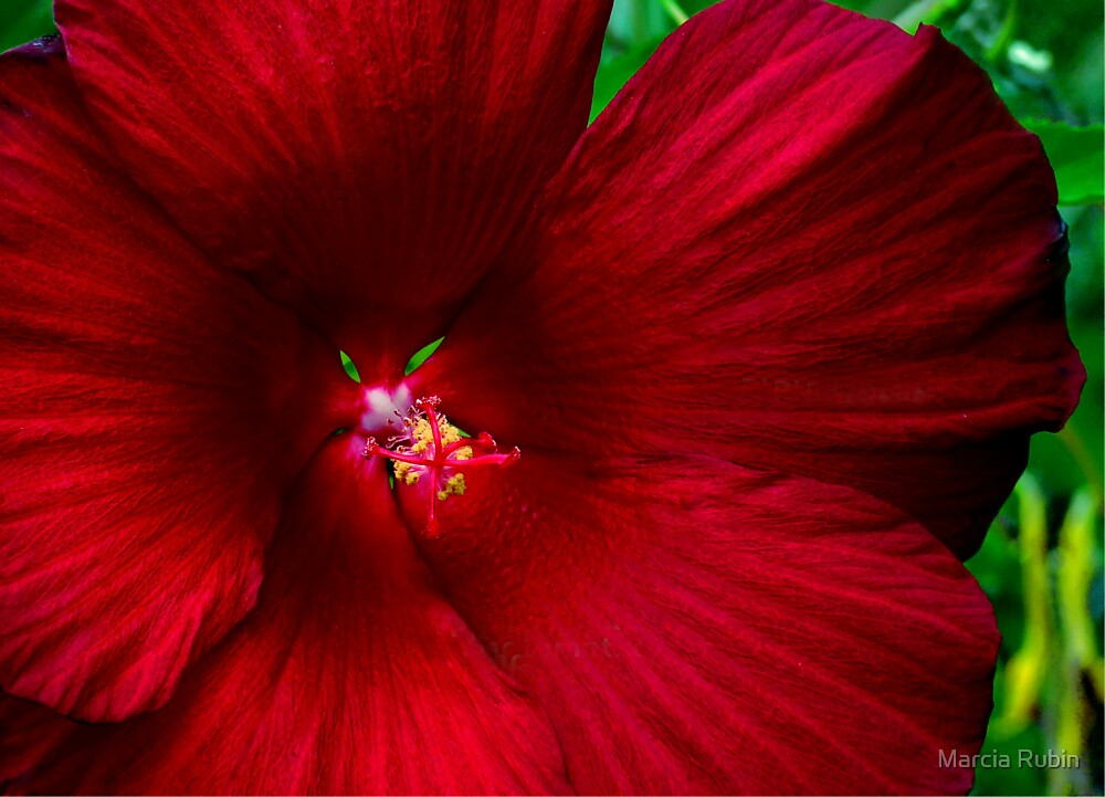 Red Hibiscus  by Marcia Rubin
