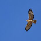 Red-tailed Hawk ~ Kiteing by Kimberly P-Chadwick