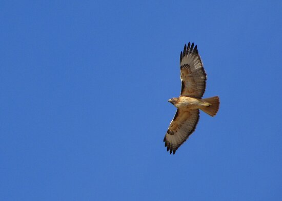 Red-tailed Hawk ~ Kiteing by Kimberly Chadwick