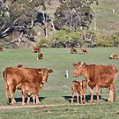 cows in the field on the farm by clearviewstock