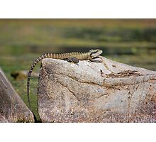 Eastern Water Dragon on a Rock Photographic Print
