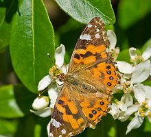 Orange Butterfly on Flower by clearviewstock