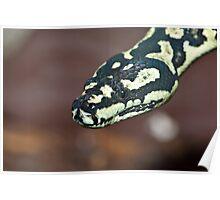 Yellow & Black Carpet Python - Morelia Spilota Cheynei Poster