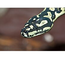 Yellow & Black Carpet Python - Morelia Spilota Cheynei Photographic Print