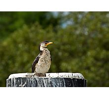 Cormorant on a pole Photographic Print