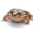Limnodynastes Tasmaniesis by clearviewstock