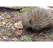 Australian Echidna  Photographic Print