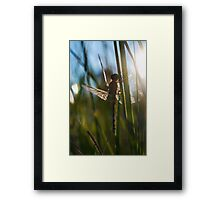 newly hatched dragonfly  Framed Print
