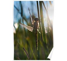 newly hatched dragonfly  Poster