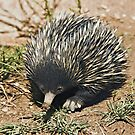 Australian Echidna 3 by clearviewstock