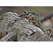 Lace Monitor (Varanus varius) Headshot Photographic Print