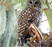 Barred Owl by Eaglelady