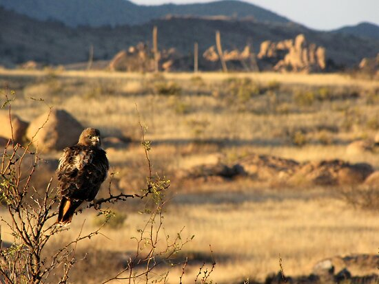 Red-tailed Hawk ~ Texas Canyon, AZ viewing by Kimberly Chadwick