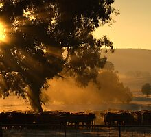 Cattle Sunrise 2 - Parkes, NSW by clearviewstock