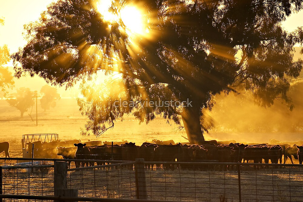 Cattle Sunrise - Parkes, NSW by clearviewstock
