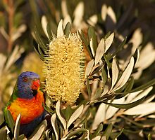 Young Rainbow Lorikeet and Grevillea by clearviewstock
