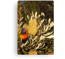 Young Rainbow Lorikeet and Grevillea Canvas Print