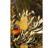 Young Rainbow Lorikeet and Grevillea Photographic Print