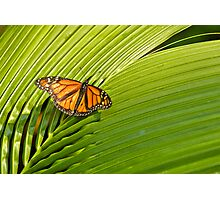 Wanderer - Monarch Butterfly on Palm Leave Photographic Print