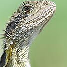 Closeup of Eastern Water Dragon by clearviewstock