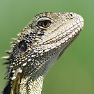 Eastern Water Dragon - Physignathus Lesueurii by clearviewstock