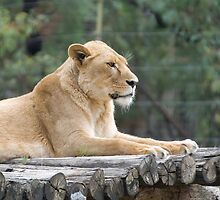 Waiting at the Zoo - Lioness by clearviewstock