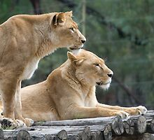 Lion Couple - Watching & Waiting by clearviewstock