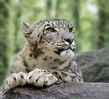 Watching...Face of a Snow Leopard  by clearviewstock