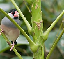 Java Finch - Padda Oryzivora by clearviewstock