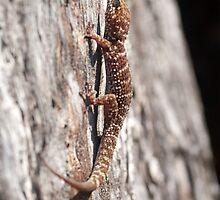 Bynoe's Gecko - Heteronotia Binoei by clearviewstock