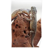 Central Netted Dragons - Ctenophoros nuchalis Poster
