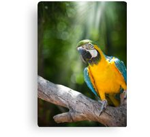 Young Blue & Gold Macaw (Ara ararauna) Canvas Print