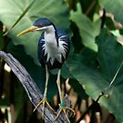 Pied Heron by clearviewstock