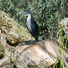 Pied Heron on a rock by clearviewstock