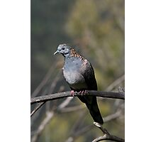Bronzewinged Pigeon Photographic Print