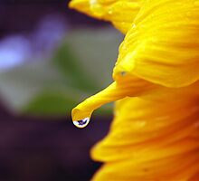 Raindrop on a Sunflower by Rodney Fagan