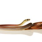 Yellow-faced Whip Snake (Demansia psammophis) by Shannon Benson