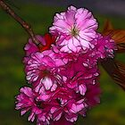 Cherry Blossom  (Spring) by Trevor Kersley