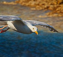 Herring Gull in flight by Geoff Carpenter