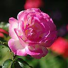 Rose by Rainy