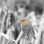 Black and white Robin by Richard Bowler