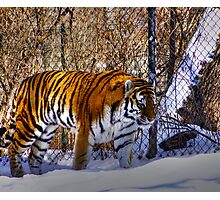 Tiger, Tiger in your tank? Photographic Print