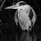 Black and white Heron by Richard Bowler