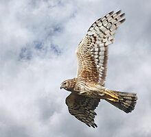 Northern Harrier - Female by Patrick Kavanagh
