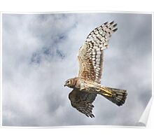 Northern Harrier - Female Poster