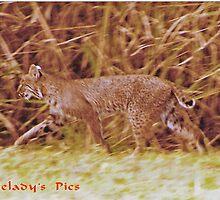 Florida Bobcat by Eaglelady