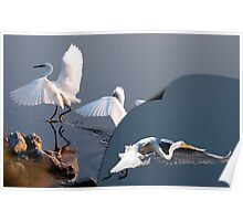 Three Great White Egrets Poster