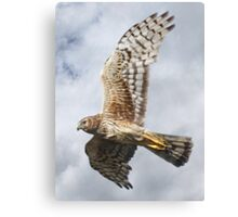 Northern Harrier - Female - Close-up Canvas Print