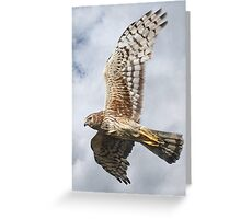 Northern Harrier - Female - Close-up Greeting Card